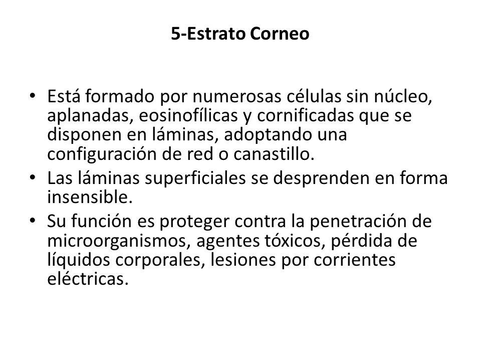 5-Estrato Corneo Está formado por numerosas células sin núcleo, aplanadas, eosinofílicas y cornificadas que se disponen en láminas, adoptando una conf