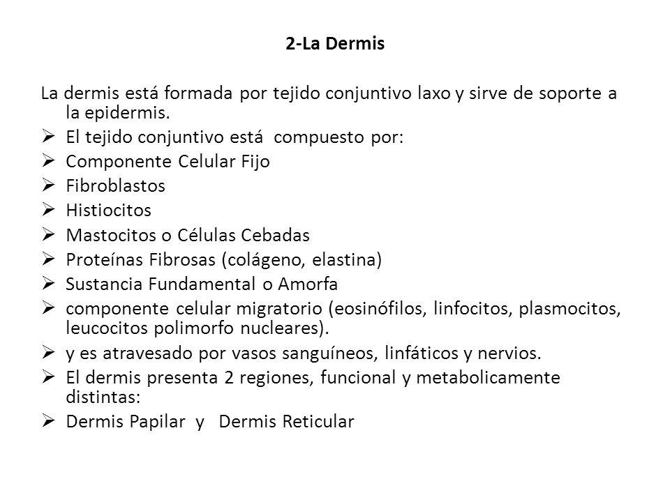 2-La Dermis La dermis está formada por tejido conjuntivo laxo y sirve de soporte a la epidermis. El tejido conjuntivo está compuesto por: Componente C