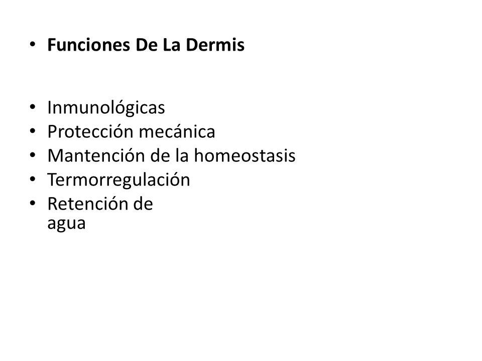 Funciones De La Dermis Inmunológicas Protección mecánica Mantención de la homeostasis Termorregulación Retención de agua
