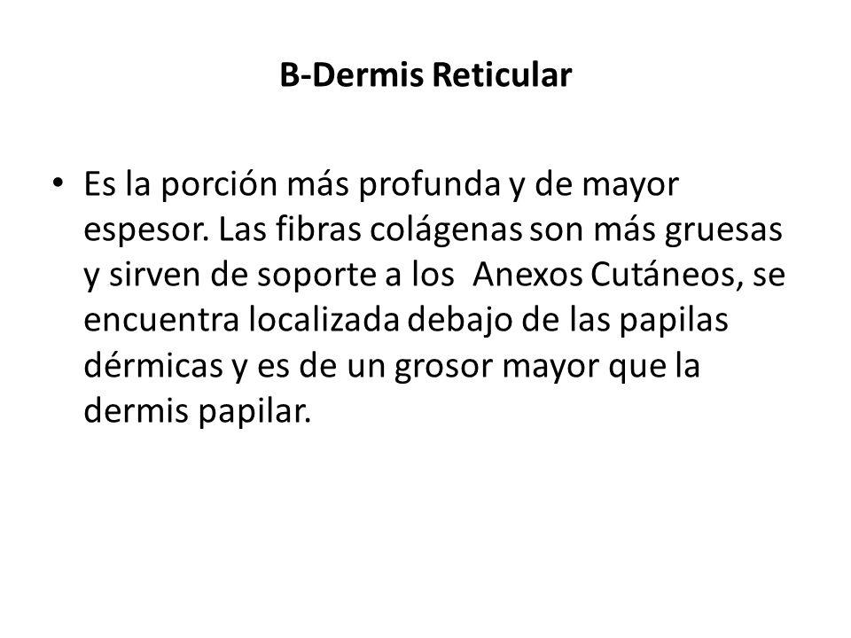 B-Dermis Reticular Es la porción más profunda y de mayor espesor. Las fibras colágenas son más gruesas y sirven de soporte a los Anexos Cutáneos, se e