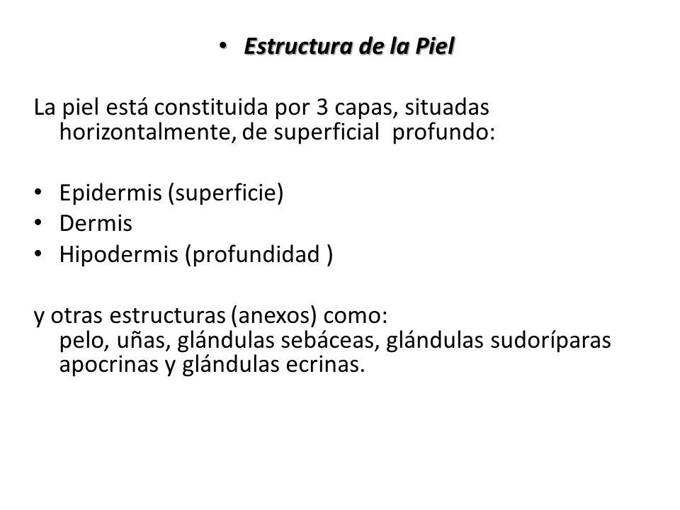 Estructura de la Piel Estructura de la Piel La piel está constituida por 3 capas, situadas horizontalmente, de superficial profundo: Epidermis (superf