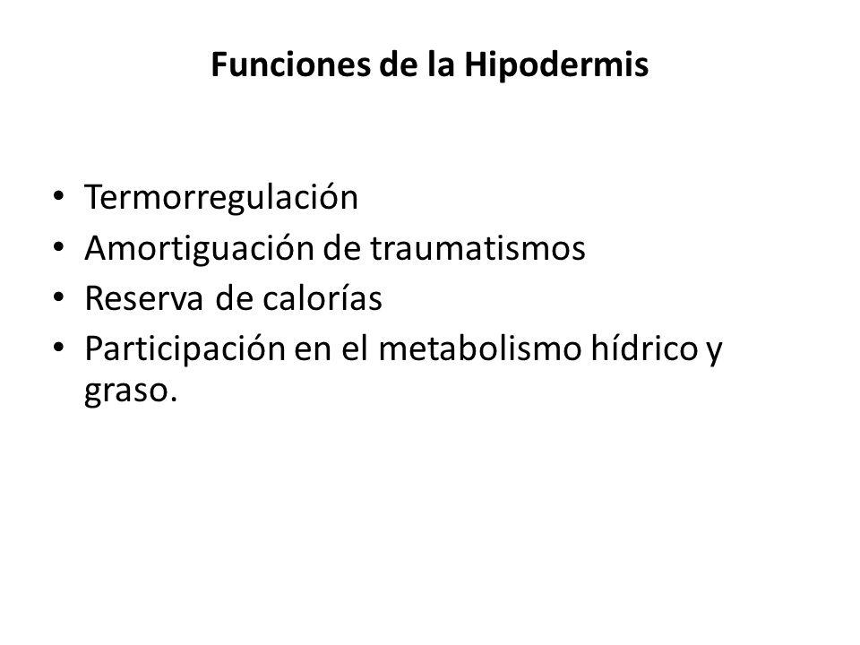 Funciones de la Hipodermis Termorregulación Amortiguación de traumatismos Reserva de calorías Participación en el metabolismo hídrico y graso.