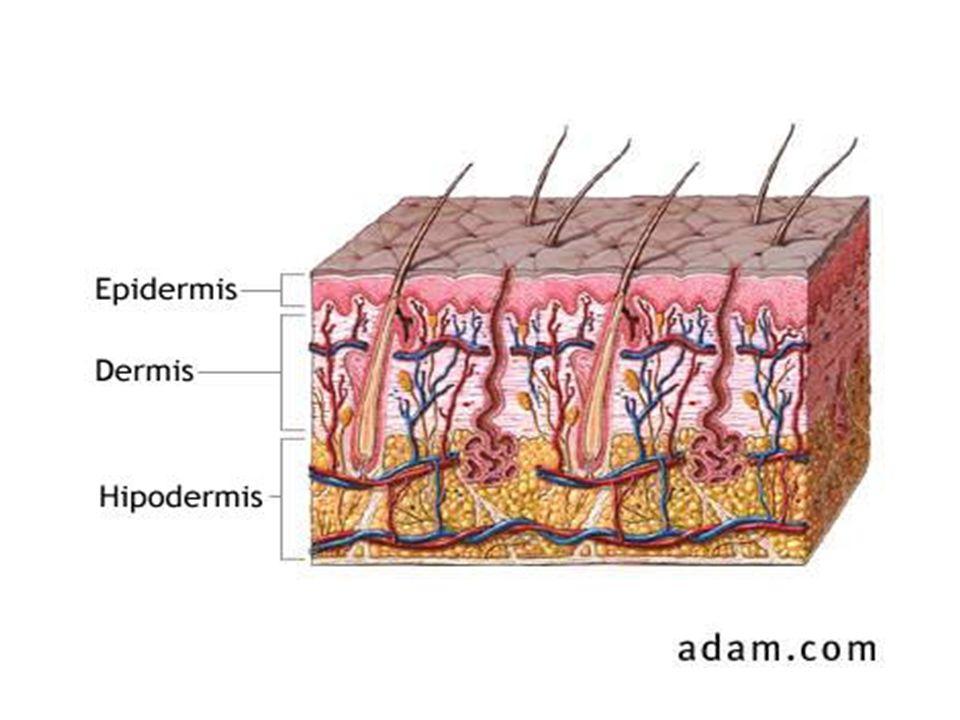 2-Estrato Mucoso de Malpighi o capa espinosa Está formado por varias capas de células poligonales o células espinosas (5-10) que se van aplanando hacia la superficie.