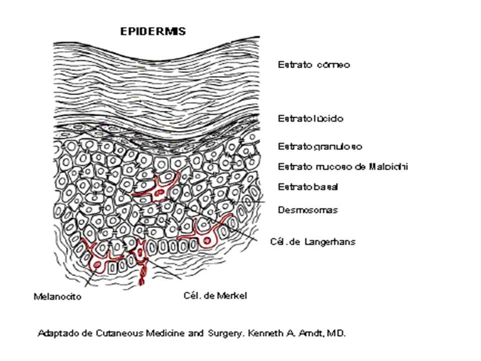 3-Estrato Granuloso Está constituido por una o más filas de células aplanadas con gránulos de queratohialina en su citoplasma.