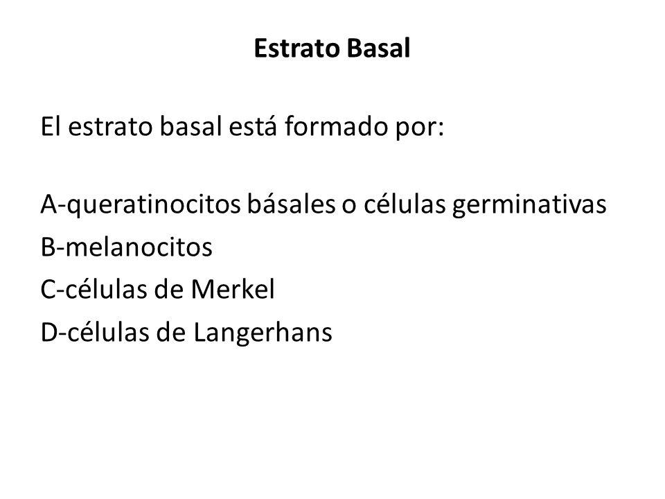 Estrato Basal El estrato basal está formado por: A-queratinocitos básales o células germinativas B-melanocitos C-células de Merkel D-células de Langer