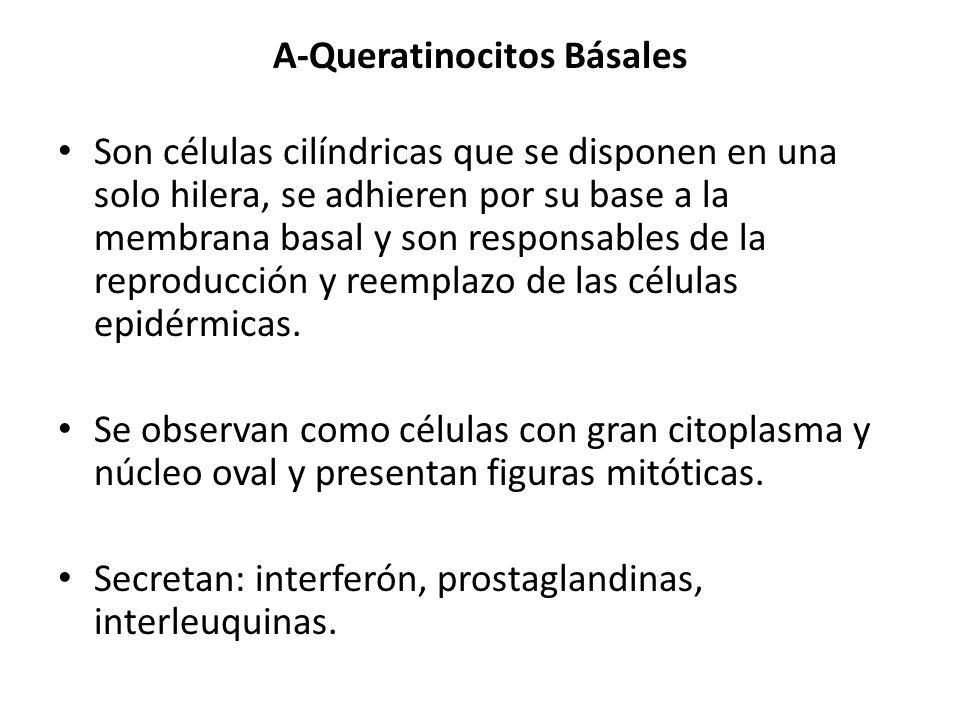 A-Queratinocitos Básales Son células cilíndricas que se disponen en una solo hilera, se adhieren por su base a la membrana basal y son responsables de