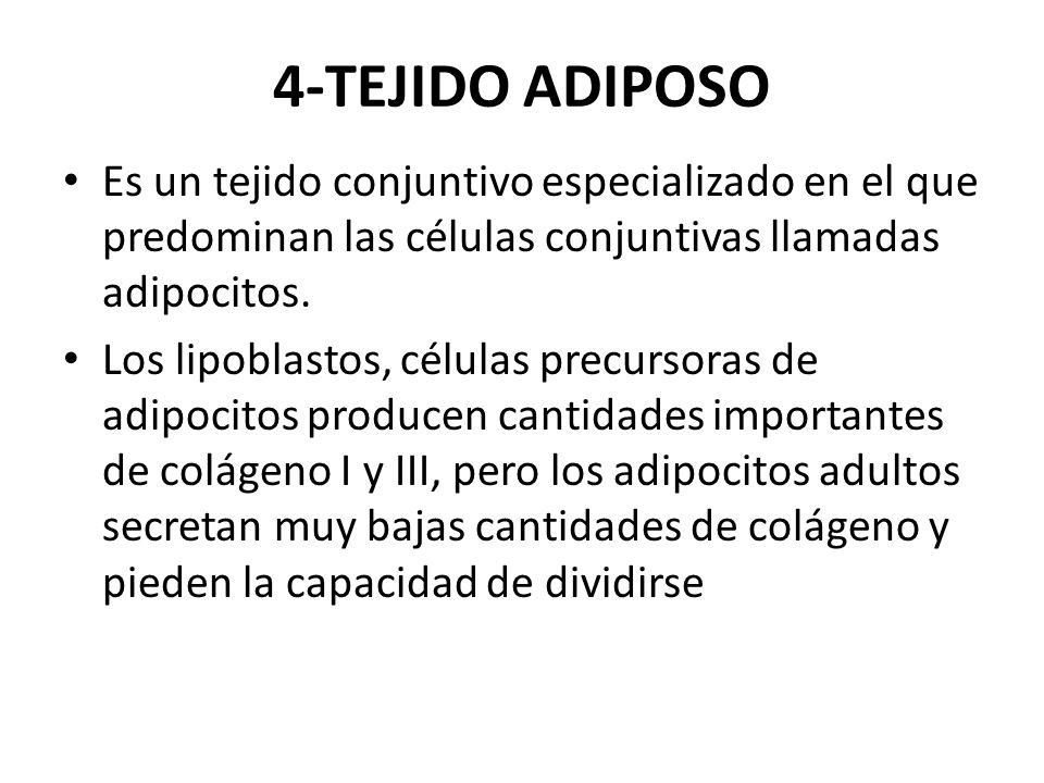 4-TEJIDO ADIPOSO Es un tejido conjuntivo especializado en el que predominan las células conjuntivas llamadas adipocitos. Los lipoblastos, células prec