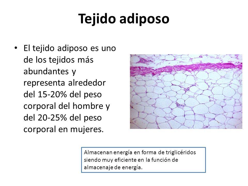 Tejido adiposo El tejido adiposo es uno de los tejidos más abundantes y representa alrededor del 15-20% del peso corporal del hombre y del 20-25% del