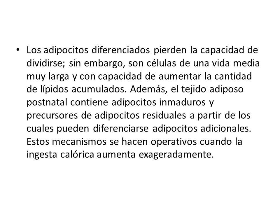 Los adipocitos diferenciados pierden la capacidad de dividirse; sin embargo, son células de una vida media muy larga y con capacidad de aumentar la ca