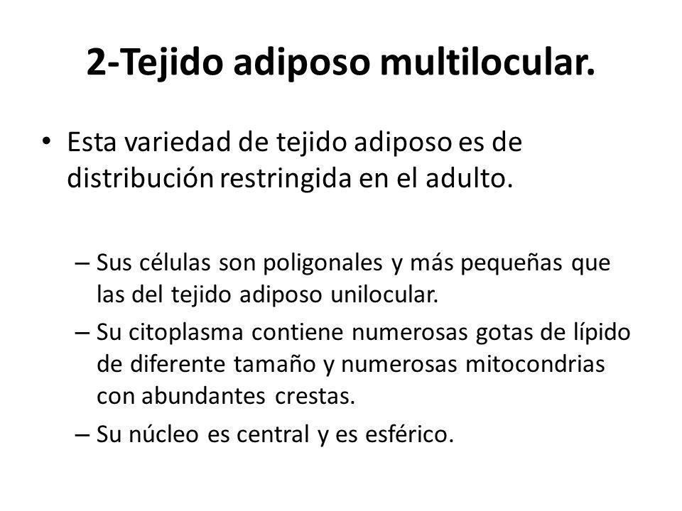 2-Tejido adiposo multilocular. Esta variedad de tejido adiposo es de distribución restringida en el adulto. – Sus células son poligonales y más pequeñ