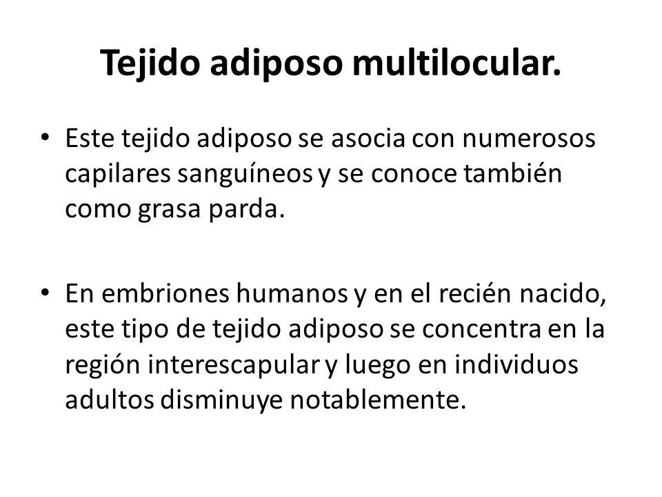 Tejido adiposo multilocular. Este tejido adiposo se asocia con numerosos capilares sanguíneos y se conoce también como grasa parda. En embriones human