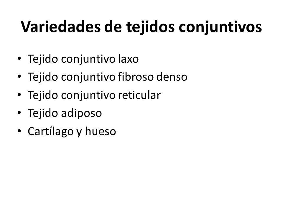 Variedades de tejidos conjuntivos Tejido conjuntivo laxo Tejido conjuntivo fibroso denso Tejido conjuntivo reticular Tejido adiposo Cartílago y hueso