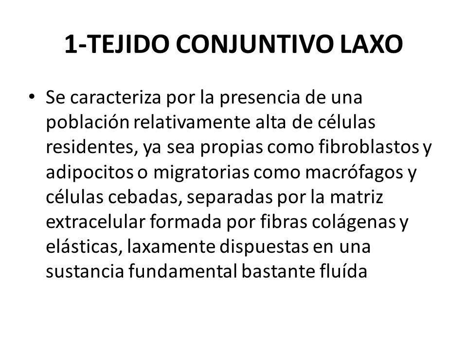 1-TEJIDO CONJUNTIVO LAXO Se caracteriza por la presencia de una población relativamente alta de células residentes, ya sea propias como fibroblastos y