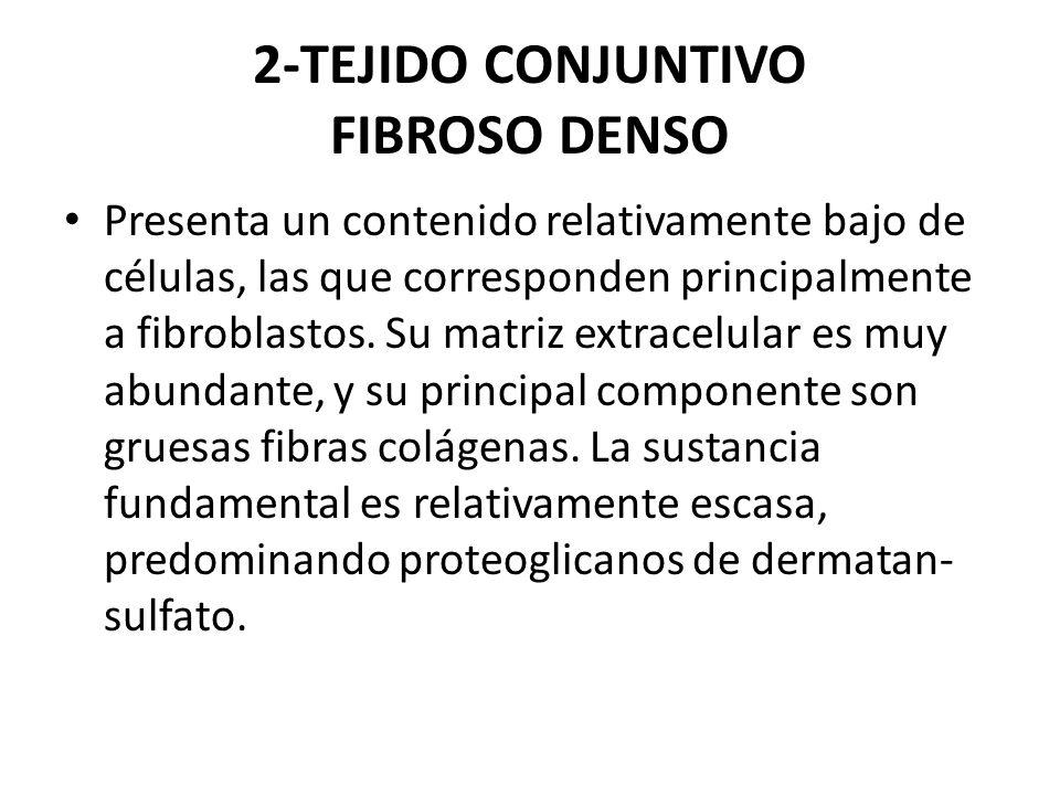 2-TEJIDO CONJUNTIVO FIBROSO DENSO Presenta un contenido relativamente bajo de células, las que corresponden principalmente a fibroblastos. Su matriz e