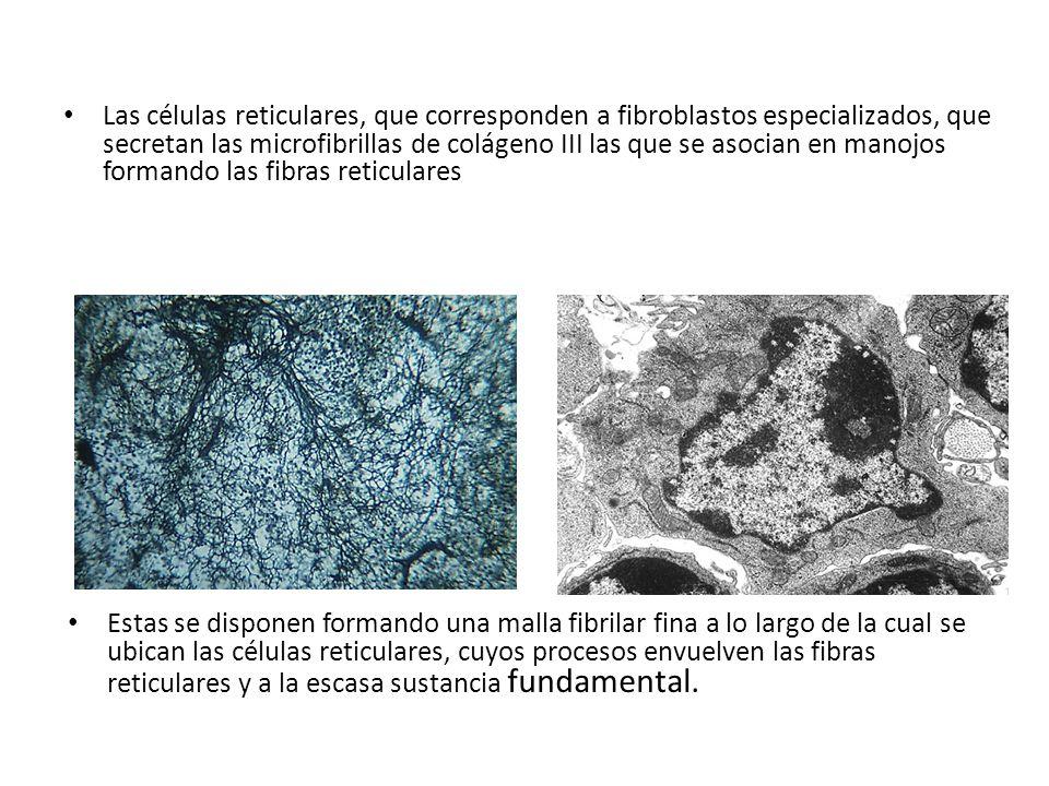 Las células reticulares, que corresponden a fibroblastos especializados, que secretan las microfibrillas de colágeno III las que se asocian en manojos