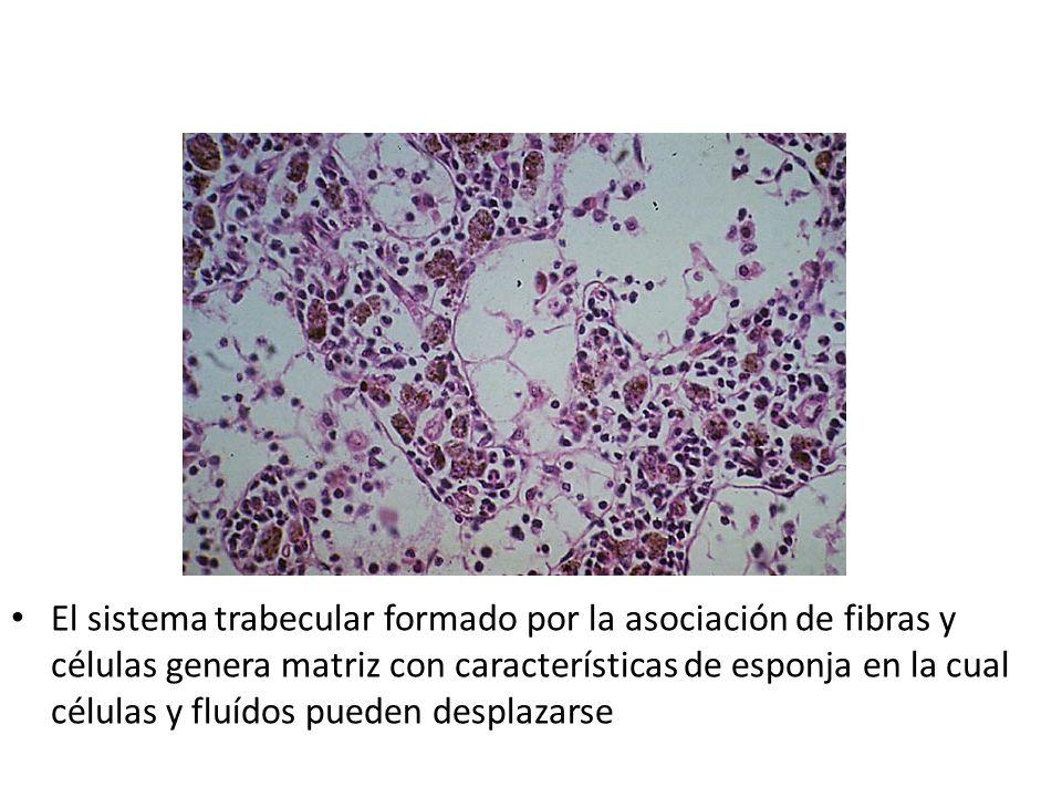 El sistema trabecular formado por la asociación de fibras y células genera matriz con características de esponja en la cual células y fluídos pueden d