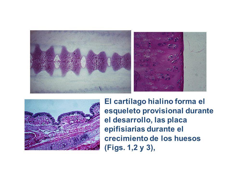 El cartílago hialino forma el esqueleto provisional durante el desarrollo, las placa epifisiarias durante el crecimiento de los huesos (Figs. 1,2 y 3)