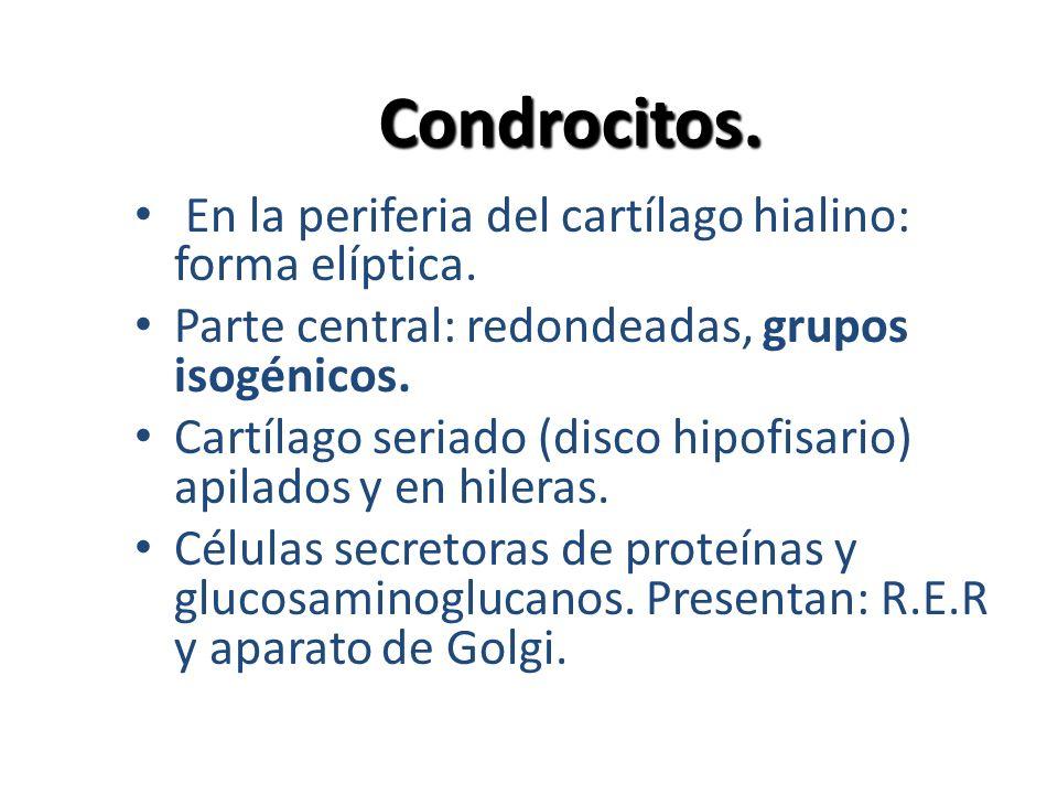 Condrocitos. En la periferia del cartílago hialino: forma elíptica. Parte central: redondeadas, grupos isogénicos. Cartílago seriado (disco hipofisari