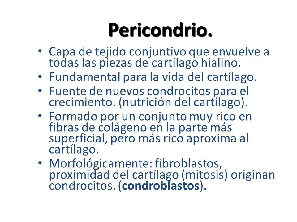 Pericondrio. Capa de tejido conjuntivo que envuelve a todas las piezas de cartílago hialino. Fundamental para la vida del cartílago. Fuente de nuevos
