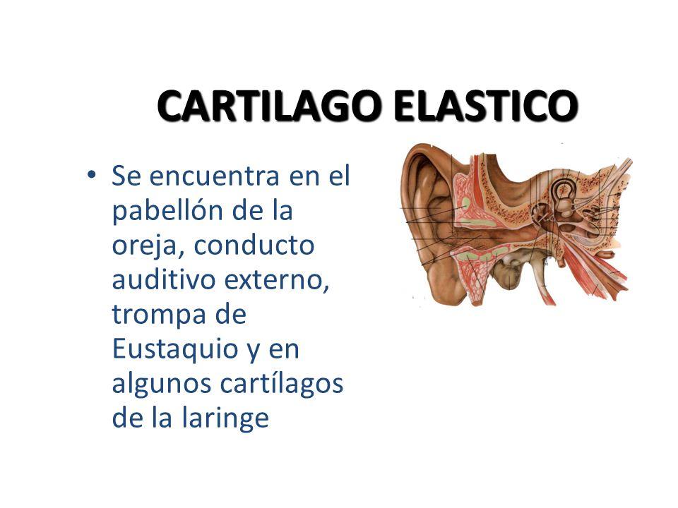 CARTILAGO ELASTICO Se encuentra en el pabellón de la oreja, conducto auditivo externo, trompa de Eustaquio y en algunos cartílagos de la laringe