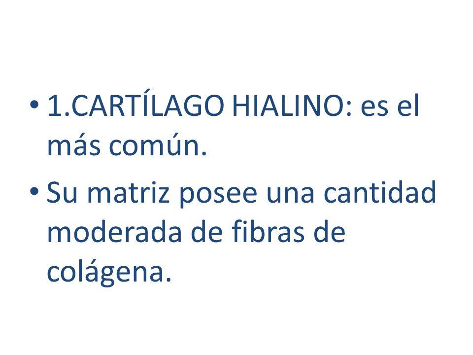 1.CARTÍLAGO HIALINO: es el más común. Su matriz posee una cantidad moderada de fibras de colágena.