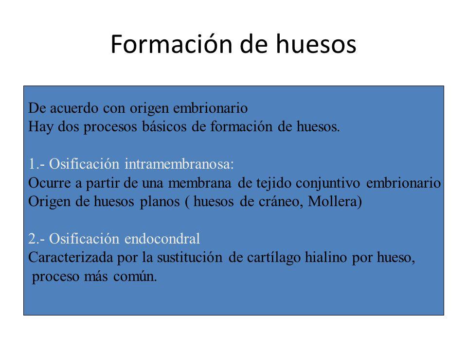 Formación de huesos De acuerdo con origen embrionario Hay dos procesos básicos de formación de huesos. 1.- Osificación intramembranosa: Ocurre a parti