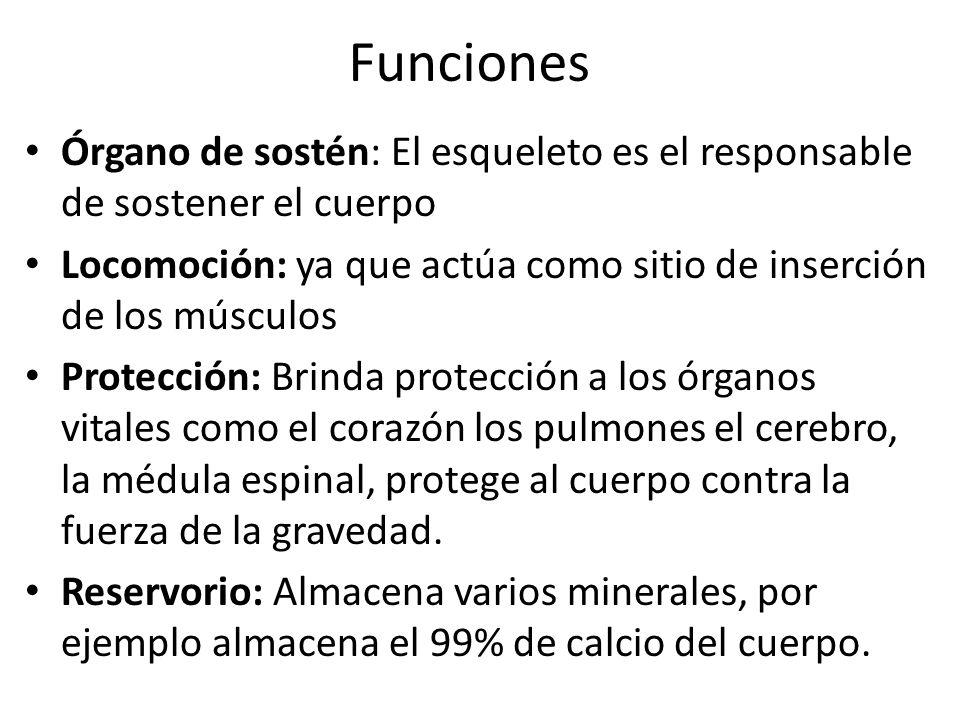 Funciones Órgano de sostén: El esqueleto es el responsable de sostener el cuerpo Locomoción: ya que actúa como sitio de inserción de los músculos Prot