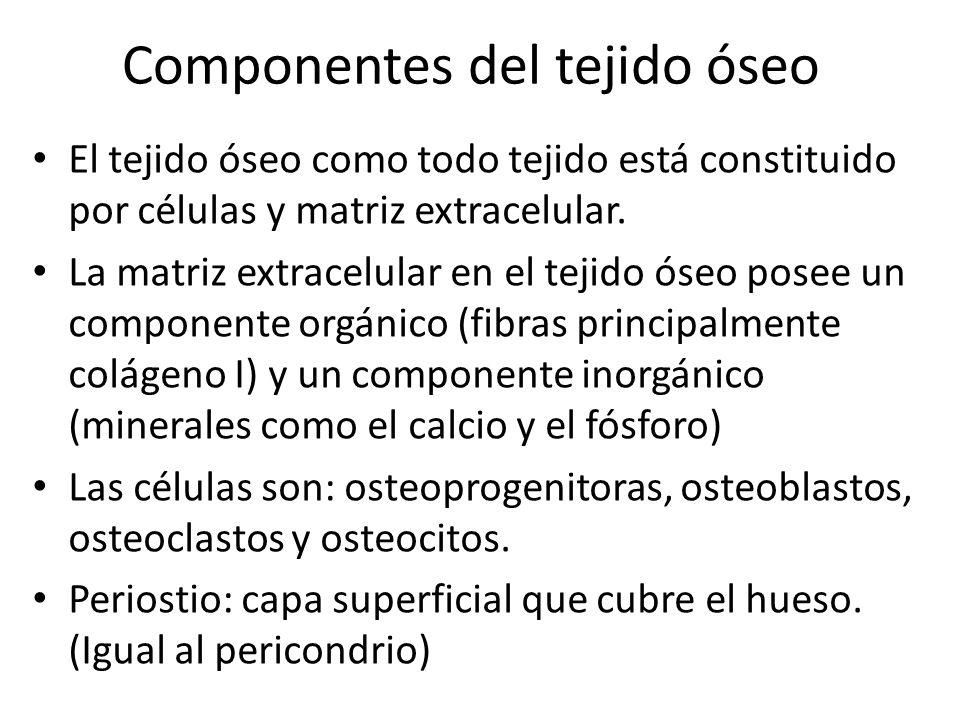 Tejido Conjuntivo Óseo Características Tejido Vivo Alto grado de rigidez.