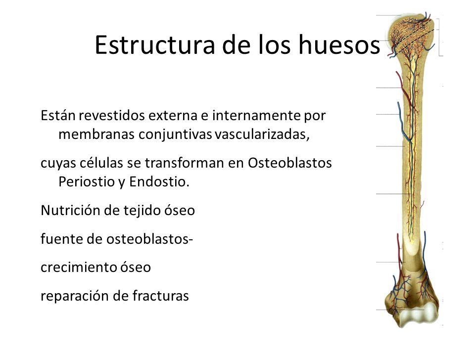 Estructura de los huesos Están revestidos externa e internamente por membranas conjuntivas vascularizadas, cuyas células se transforman en Osteoblasto