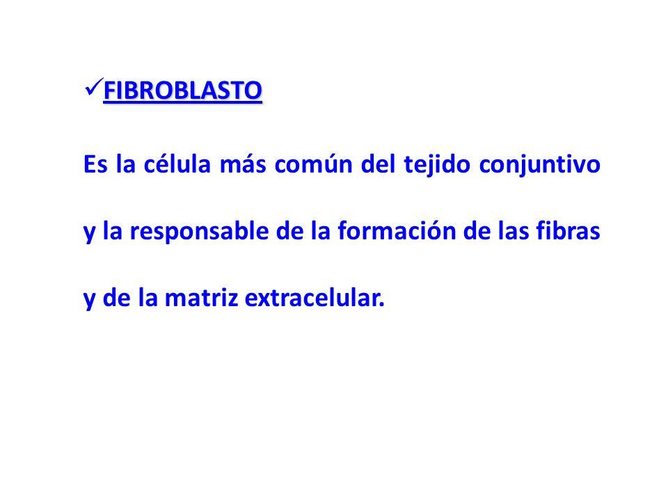 FIBROBLASTO Es la célula más común del tejido conjuntivo y la responsable de la formación de las fibras y de la matriz extracelular.