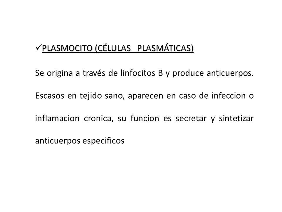 PLASMOCITO (CÉLULAS PLASMÁTICAS) Se origina a través de linfocitos B y produce anticuerpos. Escasos en tejido sano, aparecen en caso de infeccion o in