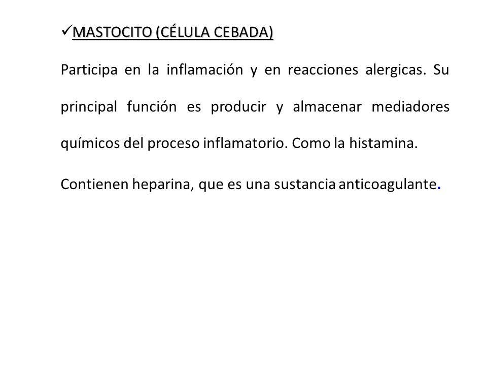 MASTOCITO (CÉLULA CEBADA) Participa en la inflamación y en reacciones alergicas. Su principal función es producir y almacenar mediadores químicos del