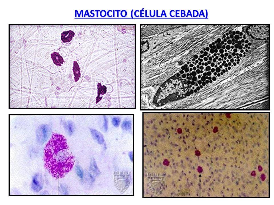 MASTOCITO (CÉLULA CEBADA)