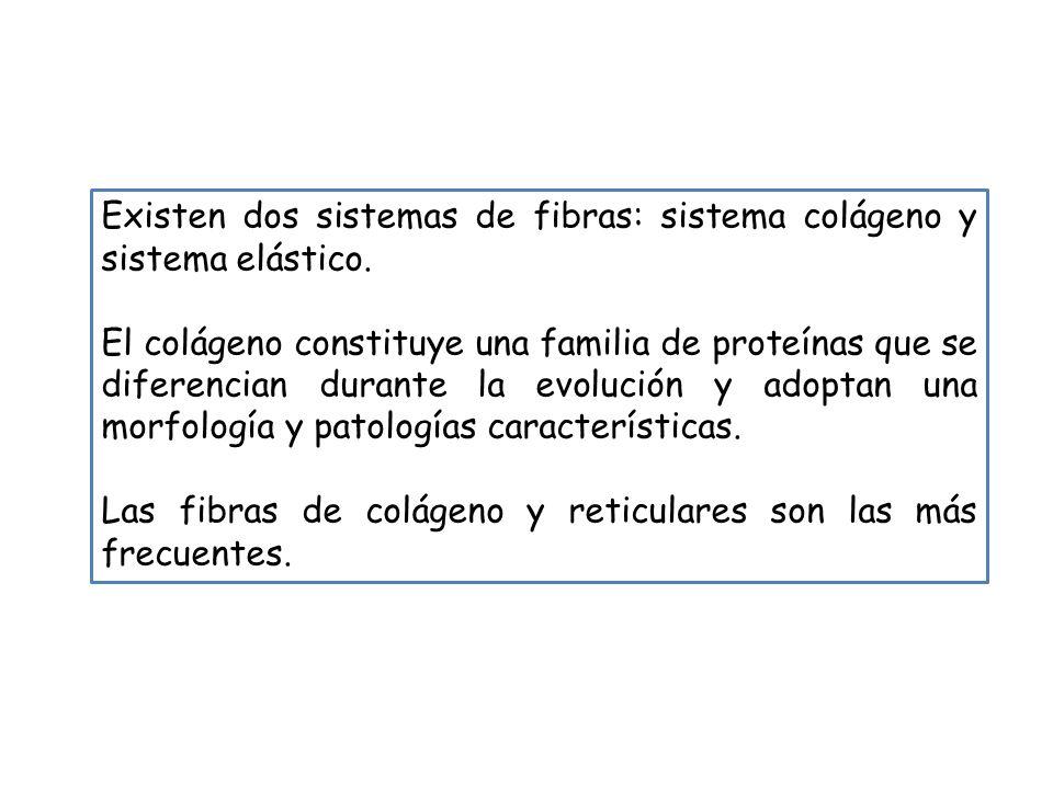 Existen dos sistemas de fibras: sistema colágeno y sistema elástico. El colágeno constituye una familia de proteínas que se diferencian durante la evo