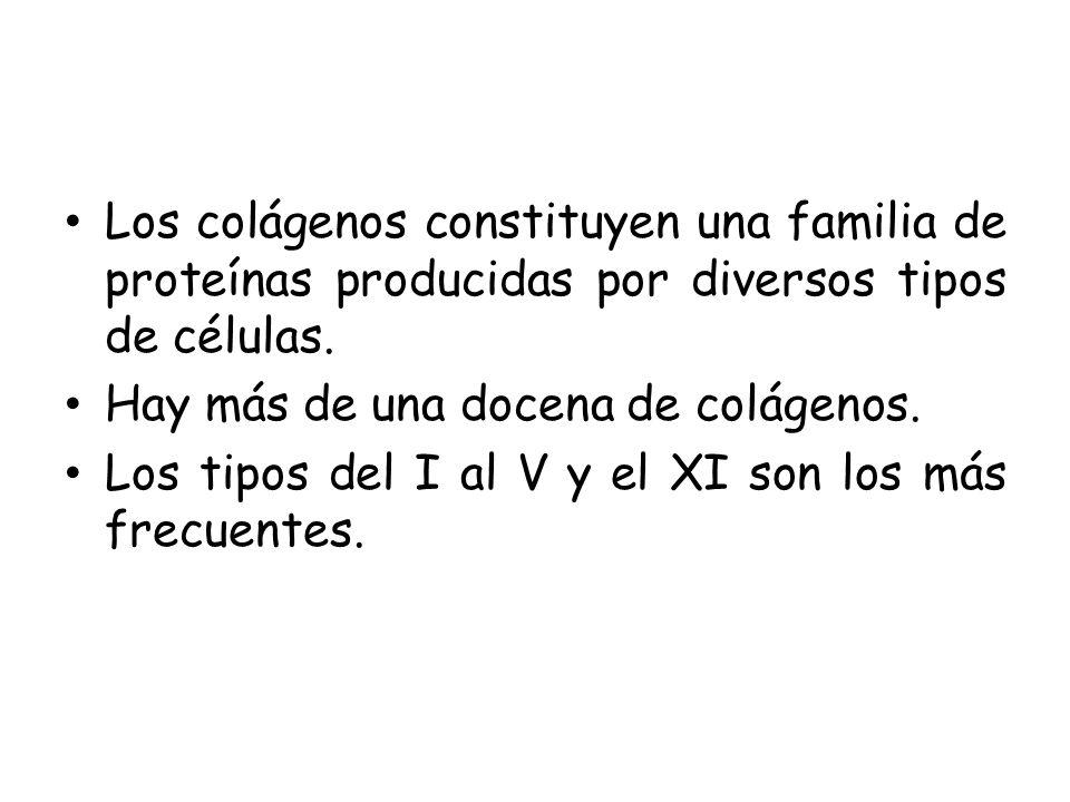 Los colágenos constituyen una familia de proteínas producidas por diversos tipos de células. Hay más de una docena de colágenos. Los tipos del I al V