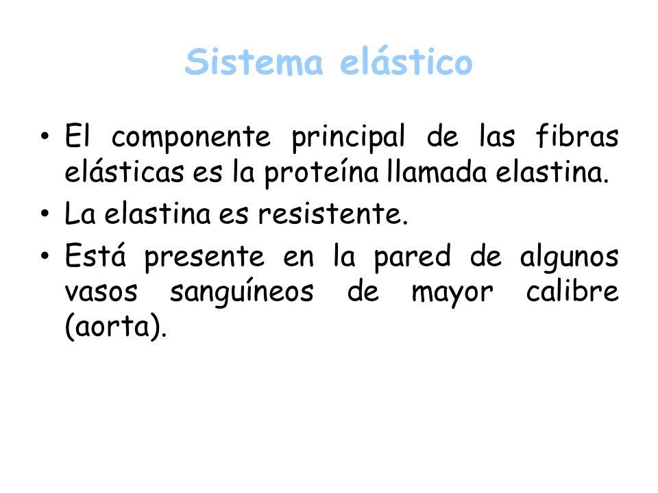 El componente principal de las fibras elásticas es la proteína llamada elastina. La elastina es resistente. Está presente en la pared de algunos vasos