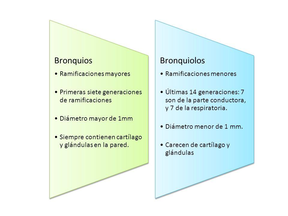 Bronquios Ramificaciones mayores Primeras siete generaciones de ramificaciones Diámetro mayor de 1mm Siempre contienen cartílago y glándulas en la par