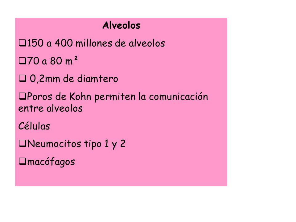 Alveolos 150 a 400 millones de alveolos 70 a 80 m² 0,2mm de diamtero Poros de Kohn permiten la comunicación entre alveolos Células Neumocitos tipo 1 y