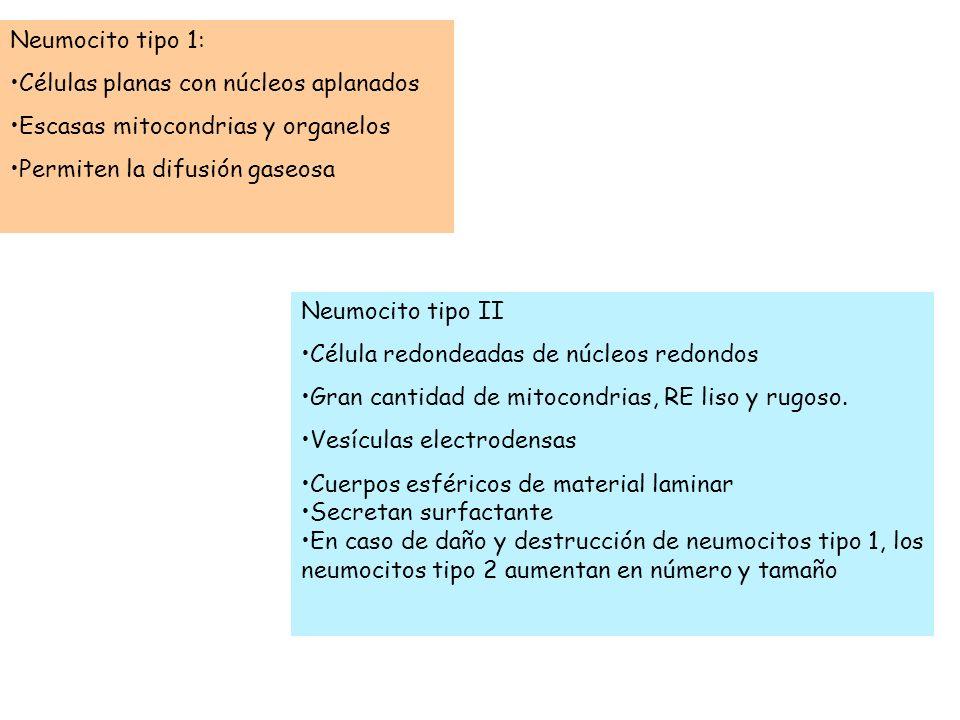 Neumocito tipo 1: Células planas con núcleos aplanados Escasas mitocondrias y organelos Permiten la difusión gaseosa Neumocito tipo II Célula redondea