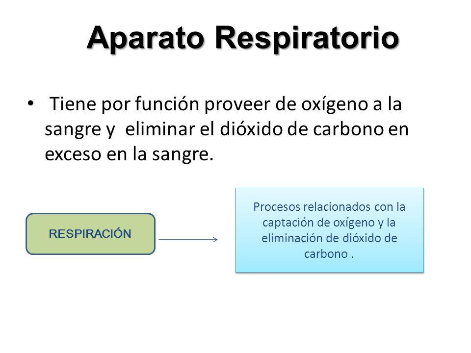 Aparato Respiratorio Tiene por función proveer de oxígeno a la sangre y eliminar el dióxido de carbono en exceso en la sangre. RESPIRACIÓN Procesos re