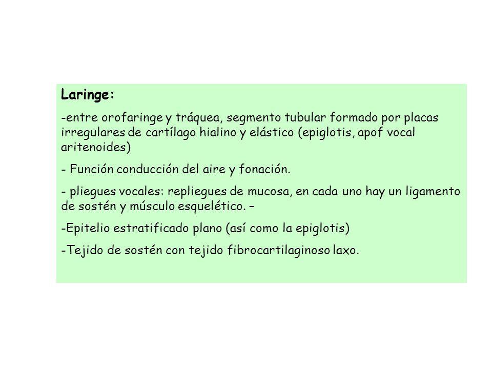 Laringe: -entre orofaringe y tráquea, segmento tubular formado por placas irregulares de cartílago hialino y elástico (epiglotis, apof vocal aritenoid