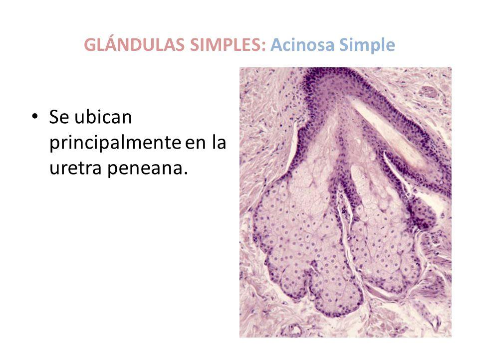 GLÁNDULAS SIMPLES: Acinosa Simple Se ubican principalmente en la uretra peneana.