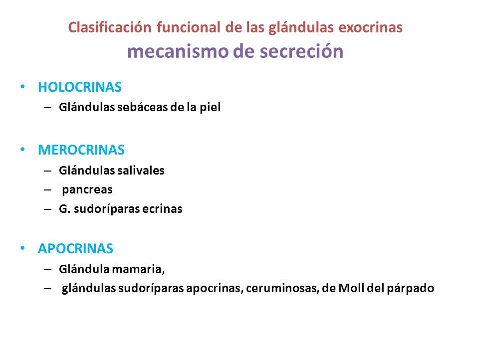 HOLOCRINAS – Glándulas sebáceas de la piel MEROCRINAS – Glándulas salivales – pancreas – G. sudoríparas ecrinas APOCRINAS – Glándula mamaria, – glándu