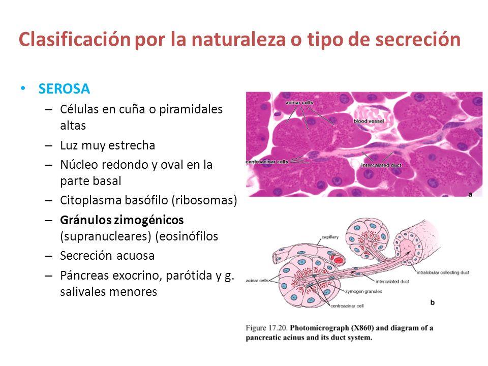 Clasificación por la naturaleza o tipo de secreción SEROSA – Células en cuña o piramidales altas – Luz muy estrecha – Núcleo redondo y oval en la part