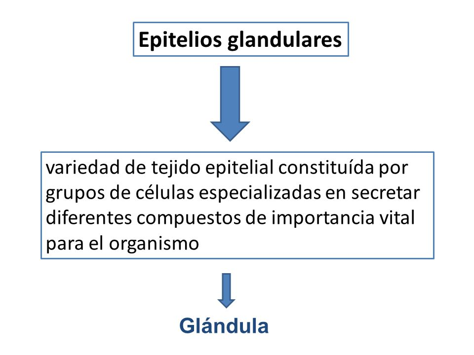 variedad de tejido epitelial constituída por grupos de células especializadas en secretar diferentes compuestos de importancia vital para el organismo