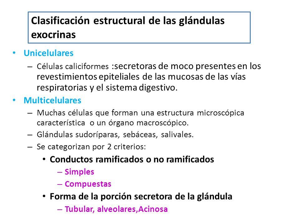 Unicelulares – Células caliciformes :secretoras de moco presentes en los revestimientos epiteliales de las mucosas de las vías respiratorias y el sist