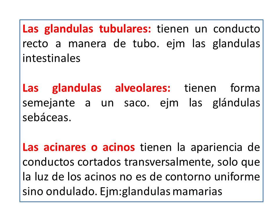 Las glandulas tubulares: tienen un conducto recto a manera de tubo. ejm las glandulas intestinales Las glandulas alveolares: tienen forma semejante a