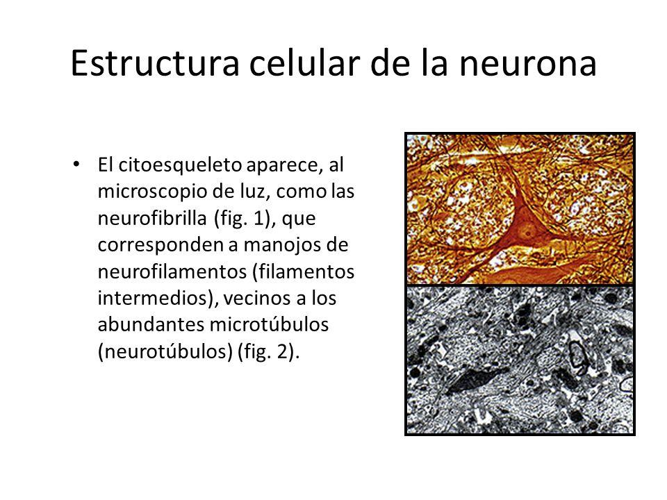Estructura celular de la neurona El citoesqueleto aparece, al microscopio de luz, como las neurofibrilla (fig. 1), que corresponden a manojos de neuro
