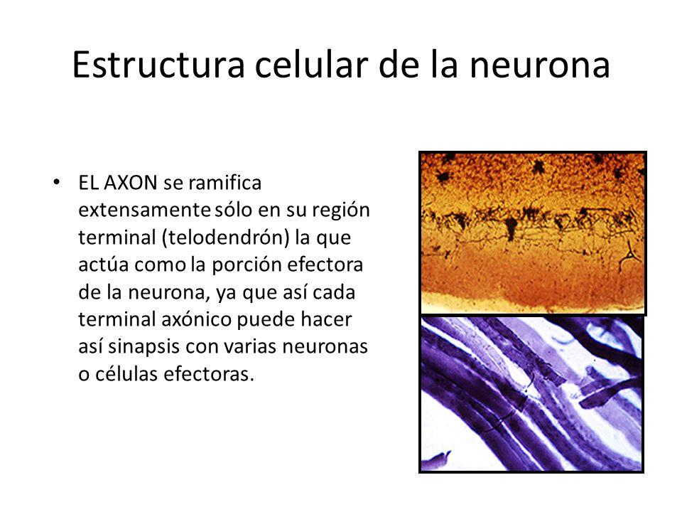 Estructura celular de la neurona EL AXON se ramifica extensamente sólo en su región terminal (telodendrón) la que actúa como la porción efectora de la