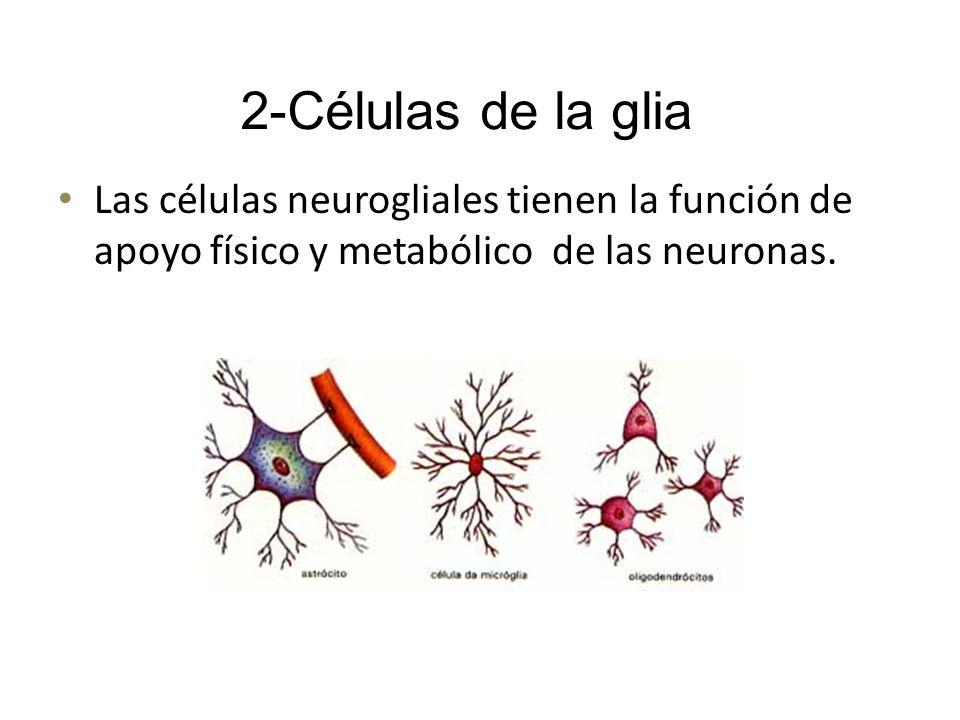 Las células neurogliales tienen la función de apoyo físico y metabólico de las neuronas. 2-Células de la glia